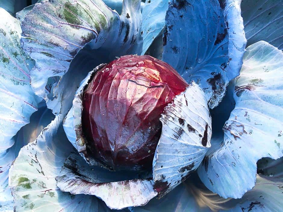 blue cabbage red cabbage harvest