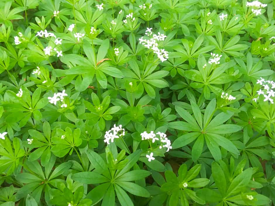 Woodruff with flowers.